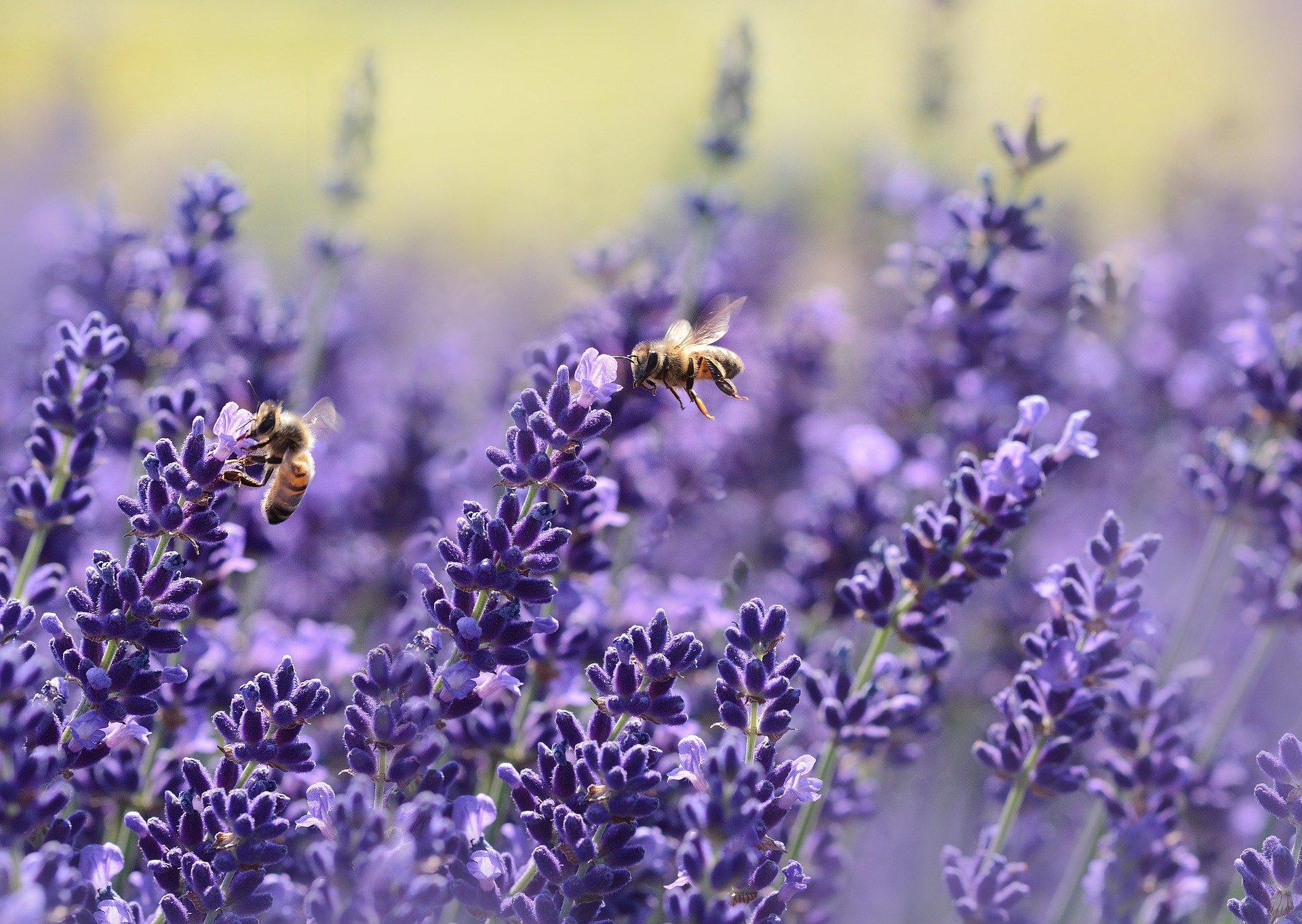 Bienen in Lavendelblüte